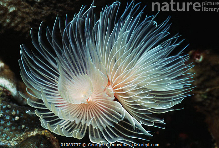 Tube worm sprayed out {Bispira sp} Banda, Moluccas, Indonesia, ANNELIDS,AQUATIC,FANWORMS,HORIZONTAL,INDONESIA,INVERTEBRATES,MARINE,POLYCHAETES,UNDERWATER,WORMS,Asia, Invertebrates, Georgette Douwma