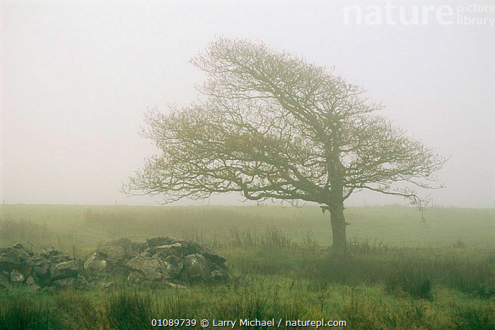 Tree shaped by prevailing wind, in mist, Ireland, COUNTRYSIDE,EIRE,EUROPE,Fog,IRELAND,LANDSCAPES,MIST,TREES,WEATHER,WIND,Plants, Larry Michael