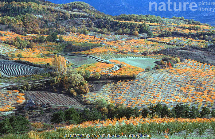 Apricot tree orchards in autumn, Baronnies, Provence, France, AGRICULTURE,AUTUMN,CROPS,EUROPE,FARMLAND,FRANCE,FRUIT,LANDSCAPES,MONOCULTURE,ORCHARDS,PLANTATIONS,TREES,Plants, Jean E. Roche