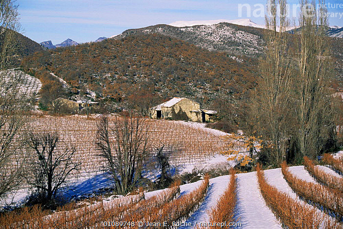 Stone building and vines in winter landscape, Baronnies, Provence, France, BUILDINGS,EUROPE,FRANCE,LANDSCAPES,SNOW,vineyard, Jean E. Roche