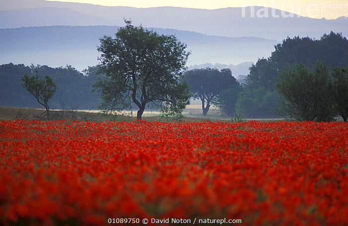 Field of Poppies Cotignac, Provence, France, LANDSCAPES,FLOWERS,HORIZONTAL,WILDFLOWERS,SUMMER,RED,Europe, David Noton