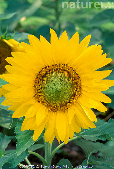 Sunflower {Helianthus annuus} Florida, USA, YELLOW,FLOWERS,PORTRAITS,PLANTS,North America, Steven David Miller