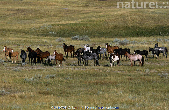 Mustang herd (American wild horse) {Equus caballus} Badlands, North Dakota, USA, ARTIODACTYLA,FAMILIES,GRASSLAND,GROUPS,HERDS,HORSES,LANDSCAPES,MAMMALS,NORTH AMERICA,PERISSODACTYLA,RESERVE,USA,VERTEBRATES,WILD,Equines, Lynn M Stone