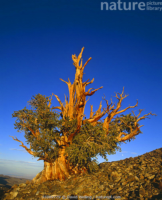 Ancient Bristlecone pine tree {Pinus aristata} White Mountains, California, USA, CONIFERS,GYMNOSPERMS,NORTH AMERICA,OLD,PINACEAE,PINES,PLANTS,TREES,TRUNKS,USA,VERTICAL, David Welling