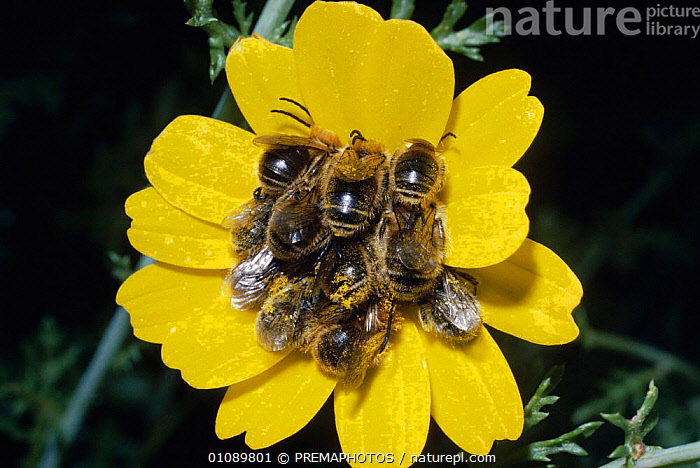 Male bees {Eucera sp} at communal roost in flower,  Israel, EUROPE,FLOWER,FLOWERS,GROUPS,HORIZONTAL,HYMENOPTERA,INSECTS,INVERTEBRATES,ISRAEL,MALE,MALES,MIDDLE EAST,MPM,PLANTS,POLLEN,POLLINATION,RESTING,ROOST,ROOSTING,SLEEPING,SOCIAL BEHAVIOUR,YELLOW, PREMAPHOTOS