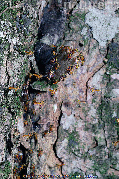 Stingless bees {Plebeia sp} guard nest entrance, Argentina, ARGENTINA,ENTRANCE,FLYING,GROUPS,GUARDING,HYMENOPTERA,INSECTS,INVERTEBRATES,KPM,NEST,NESTS,SOUTH AMERICA,SP,STINGLESS,VERTICAL, PREMAPHOTOS