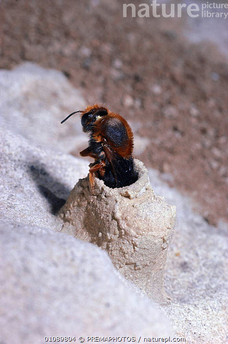 Female solitary bee scrapes pollen off legs into nest cell {Megachile sicula} Israel, ARTHROPODS, BEES, BEHAVIOUR, FEMALES, HYMENOPTERA, INSECTS, INVERTEBRATES, NESTS, PARENTAL, POLLEN, REPRODUCTION, VERTICAL, PREMAPHOTOS