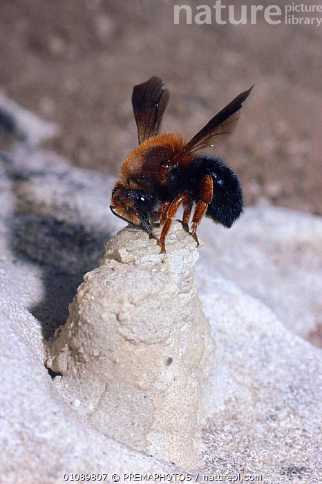 Female solitary bee caps nest cell with mud {Megachile sicula} Israel, ARTHROPODS, BEES, BEHAVIOUR, FEMALES, HYMENOPTERA, INSECTS, INVERTEBRATES, NESTS, REPRODUCTION, VERTICAL, PREMAPHOTOS