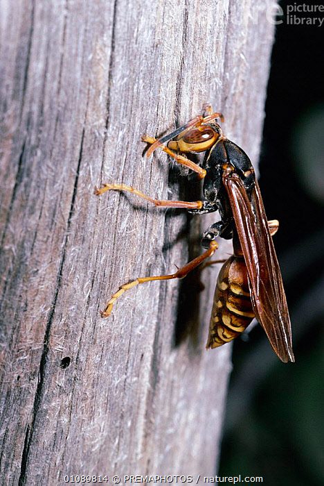 Social wasp scrapes wood off dead tree for nest, Chile {Polistes buyssoni}, BUILDING,HYMENOPTERA,INSECTS,INVERTEBRATE,INVERTEBRATES,KPM,NEST,PAPER,SOUTH AMERICA,TRUNKS,VERTICAL,WOOD, PREMAPHOTOS
