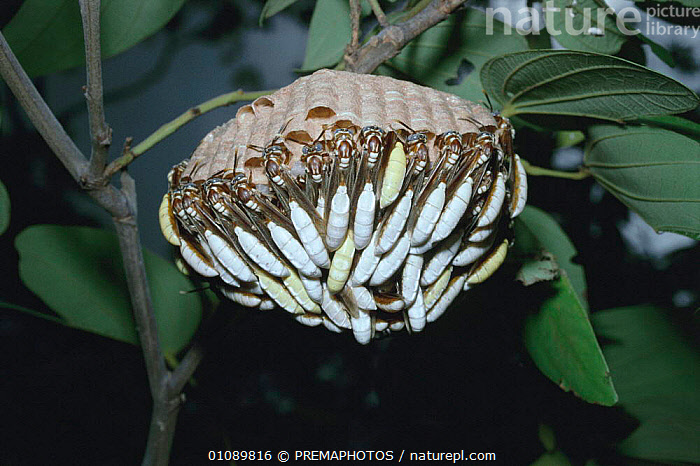 Nocturnal social wasps rest during day at nest in rainforest {Apoica pallens} Brazil, GROUPS,HORIZONTAL,HYMENOPTERA,INSECTS,INVERTEBRATE,INVERTEBRATES,KPM,NESTS,RAINFOREST,RESTING,SLEEPING,SOUTH AMERICA,TROPICAL RAINFOREST, PREMAPHOTOS