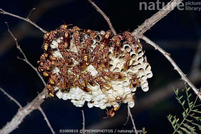Social wasps on nest in tropical dry forest. Madagascar {Polistes fastidiosus}, GROUPS,HORIZONTAL,HYMENOPTERA,INSECTS,INVERTEBRATE,INVERTEBRATES,KPM,MADAGASCAR,NESTS,TROPICAL DRY FOREST, PREMAPHOTOS