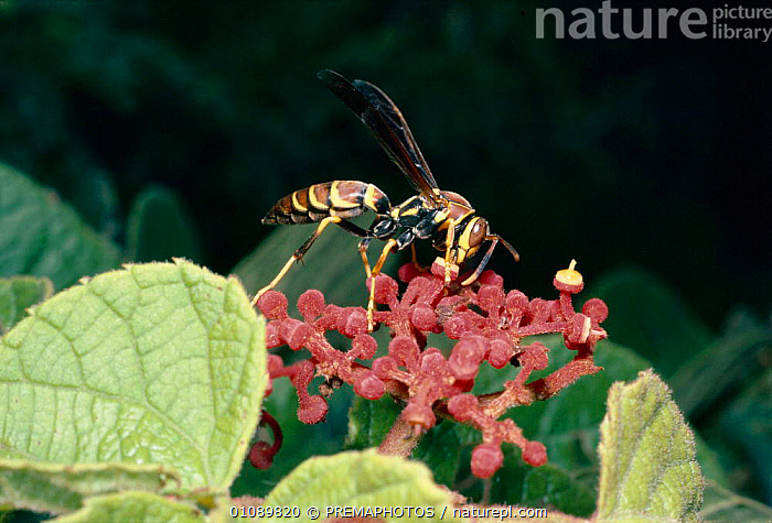 Social wasp feeds on flowers with open nectaries {Polistes instabilis} Mexico, CENTRAL AMERICA,FEEDING,FLOWER,FLOWERS,HORIZONTAL,HYMENOPTERA,INSECTS,INVERTEBRATE,INVERTEBRATES,KPM,MEXICO,NECTARIES,ONE,POLLINATION, PREMAPHOTOS