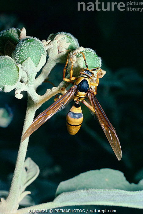 Social wasp feeds on fruit in desert {Polistes carnifex carnifex} Mexico, CENTRAL AMERICA,DESERTS,FEEDING,FRUIT,HORIZONTAL,HYMENOPTERA,INSECTS,INVERTEBRATE,INVERTEBRATES,KPM,MEXICO,PLANTS, PREMAPHOTOS