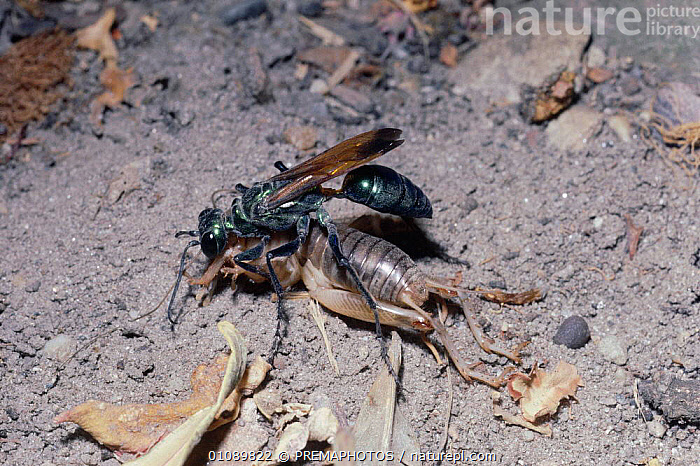 Hunting wasp drags paralysed cricket to burrow. {Chlorion lobatum} Nepal, CARNIVOROUS,CARRYING,FEEDING,HORIZONTAL,HYMENOPTERA,INDIAN SUBCONTINENT,INSECTS,INVERTEBRATE,INVERTEBRATES,KPM,ORTHOPTERA,PREDATION,ASIA,BEHAVIOUR, PREMAPHOTOS