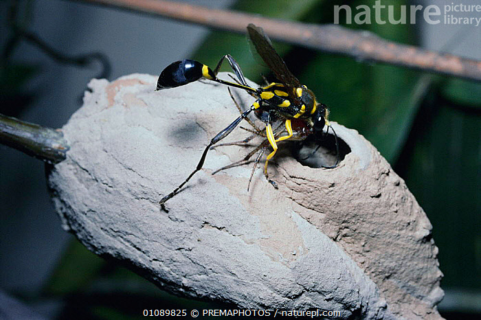 Mud dauber wasp putting spider into nest cell as food for its larva, Brazil {Sceliphron fistularium}, ARACHNIDS, BEHAVIOUR, HORIZONTAL, HUNTING-WASPS, HYMENOPTERA, INSECTS, INVERTEBRATES, NESTS, PARENTAL, PREDATION, REPRODUCTION, VERTICAL, WASPS, PREMAPHOTOS
