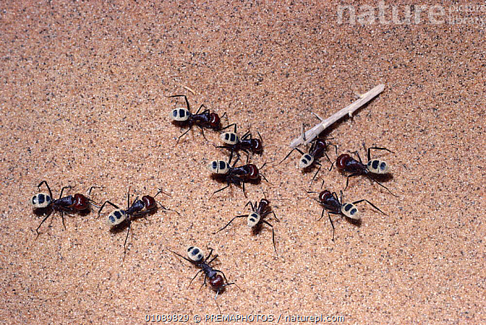 Ants foraging in Namib desert {Camponotus detritus} Namibia, AFRICA,ANTS,DESERTS,GROUPS,HORIZONTAL,HYMENOPTERA,INSECTS,INVERTEBRATES,NAMIBIA,SAND,SOUTHERN AFRICA, PREMAPHOTOS