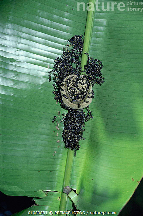 Small social wasps {Polybia occidentalis cinctus} from a swarm start to build A new nest under a Heliconia leaf. Trinidad, CARIBBEAN,GROUPS,HELICONIA,HORIZONTAL,HYMENOPTERA,INSECTS,INVERTEBRATE,INVERTEBRATES,KPM,LEAVES,MAKING,NESTS,SOCIAL BEHAVIOUR,West Indies, PREMAPHOTOS
