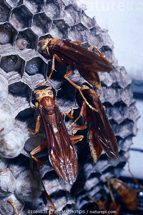 Social wasps offer food bolus to larvae in cells {Polistes cavapyta} Argentina, BEHAVIOUR,CELLS,COOPERATION,FAMILIES,FEEDING,FOOD,HYMENOPTERA,INSECTS,INVERTEBRATE,INVERTEBRATES,KPM,LARVAE,NESTS,SOUTH AMERICA,VERTICAL,WASPS ,TEAMWORK, PREMAPHOTOS