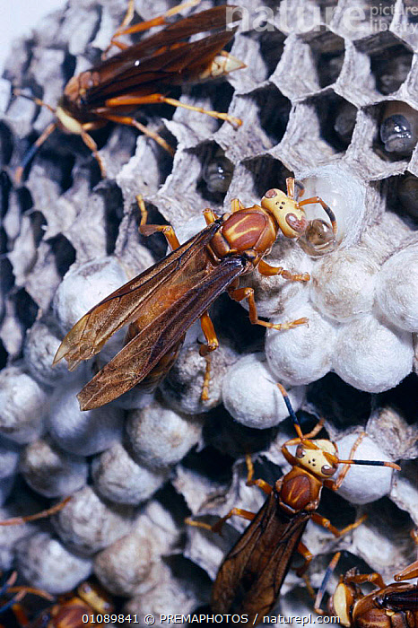 Social wasp inspects pupating larvae {Polistes cavapyta} Argentina, ARGENTINA,BEHAVIOUR,CELLS,COOPERATION,FAMILIES,HYMENOPTERA,INSECTS,INSPECTS,INVERTEBRATE,INVERTEBRATES,KPM,LARVA,LARVAE,NESTS,PUPAE,PUPATING,SOUTH AMERICA ,TEAMWORK, PREMAPHOTOS