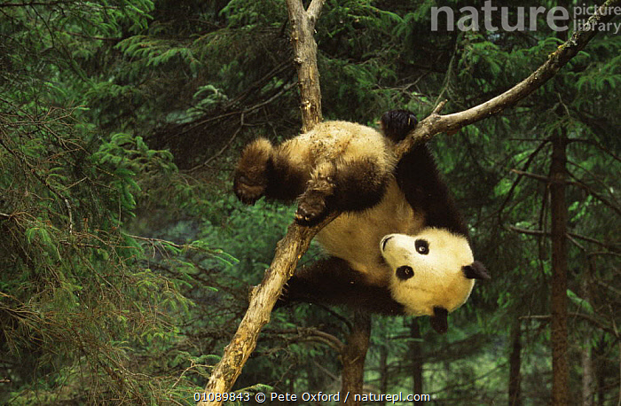 Giant panda juvenile playing in tree (Ailuropoda melanoleuca) Sichuan Province, China, captive, CAPTIVE,CARNIVORES,CHINA,CLIMBING,CUTE,ENDANGERED,HUMOROUS,JUVENILE,MAMMALS,PANDAS,PLAY,PLAYFUL,PLAYING,TREES,VERTEBRATES,YOUNG,Asia,Concepts,Plants,Communication, Pete Oxford