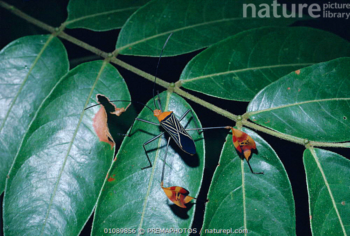 Flag legged bug in rainforest {Anisoscelis flavolineata} Costa Rica, Central America, CENTRAL AMERICA,COSTA,HEMIPTERA,HORIZONTAL,INSECTS,INVERTEBRATE,INVERTEBRATES,KPM,ONE,RAINFOREST,TROPICAL RAINFOREST, PREMAPHOTOS