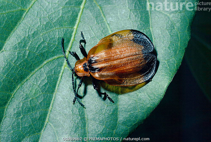 Net winged beetle {Lycus sp} warning coloration and distasteful. South Africa, AFRICA,COLEOPTERA,DISTASTEFUL,HORIZONTAL,INSECTS,INVERTEBRATE,INVERTEBRATES,KPM,PORTRAITS,SOUTHERN AFRICA, ,WARNING COLOURATION, PREMAPHOTOS