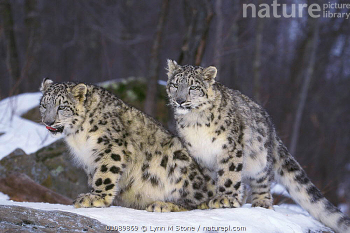 Two Snow leopard in snow {Panthera uncia} occurs Himalayas, BIG CATS,CAPTIVE,CARNIVORES,CATS,COLD,HIGHLANDS,HORIZONTAL,LEOPARDS,LS,MAMMALS,SPOTS,TWO,WEATHER, Lynn M Stone