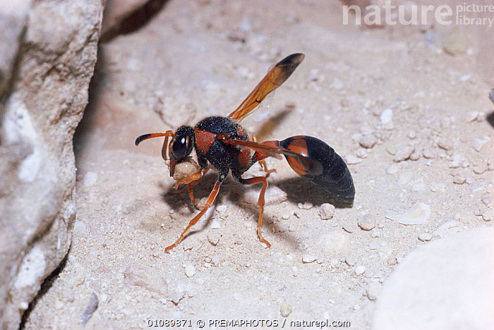 Potter wasp collecting dry soil for nest building in desert {Delta dimidiatipenne} Israel, BUILDING,DESERTS,HORIZONTAL,HYMENOPTERA,INSECTS,INVERTEBRATE,INVERTEBRATES,KPM,MAKING,MIDDLE EAST,NESTING BEHAVIOUR,NESTS,REPRODUCTION, PREMAPHOTOS