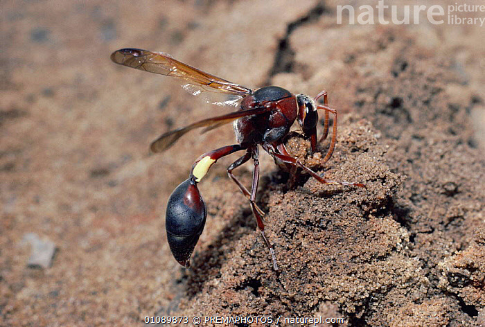 Female Mud dauber wasp collects mud for nest building {Eumenes fenestralis} S Africa, AFRICA,BUILDING,DESERTS,HORIZONTAL,HYMENOPTERA,INSECTS,INVERTEBRATE,INVERTEBRATES,KPM,MAKING,MUD,NESTING BEHAVIOUR,NESTS,WASP,REPRODUCTION, PREMAPHOTOS