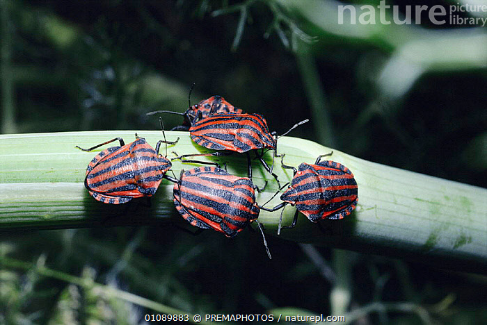 Harlequin bugs {Graphosoma italicum} feeding on Fennel  Spain, EUROPE,FEEDING,FENNEL,GROUPS,HEMIPTERA,HORIZONTAL,INSECTS,INVERTEBRATE,INVERTEBRATES,PLANTS,RPM,SPAIN, ,WARNING COLOURATION, PREMAPHOTOS