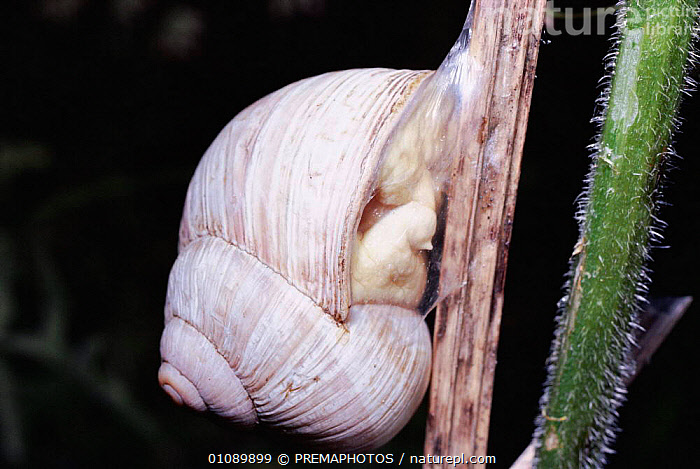 Edible snail attached to plant stem in dry season {Helix pomatia} UK, BRITISH,DRY SEASON,ENGLAND,EUROPE,HORIZONTAL,INVERTEBRATE,INVERTEBRATES,KPM,MOLLUSCS,ONE,UK,WILDLIFE,UNITED KINGDOM, PREMAPHOTOS