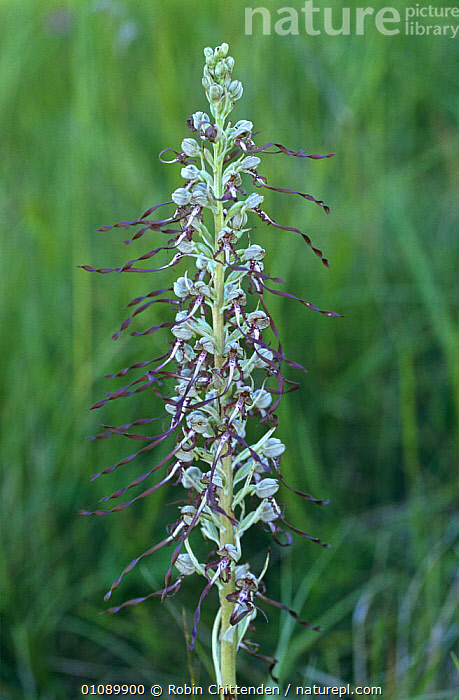 Lizard orchid {Himantoglossum hircinum} Cambridgeshire, UK, ENGLAND,EUROPE,FLOWERS,GRASSLAND,MONOCOTYLEDONS,ORCHIDACEAE,PLANTS,UK,VERTICAL,United Kingdom,British, Robin Chittenden