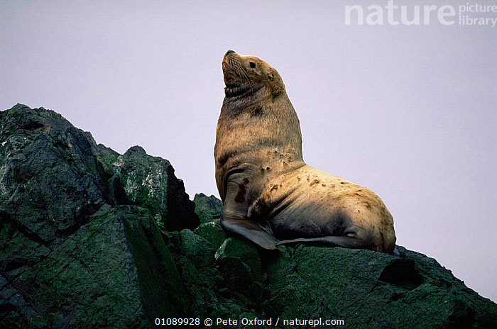 Stellars sealion young bull on rock {Eumetopias jubata} Aleutian Is, Alaska, USA, CARNIVORES,COASTS,ENDANGERED,HORIZONTAL,JUVENILE,MALES,MAMMALS,PINNIPEDS,SEALIONS,SILHOUETTES,USA,North America, CARNIVORES, Pete Oxford