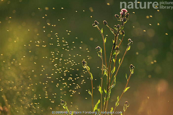 Creeping thistle {Cirsium arvense}, blackfly and other flying insects, Sweden, APHIDS,ARTY SHOTS,ASTERACEAE,COMPOSITAE,DICOTYLEDONS,EUROPE,FLOWERS,FLYING,GROUPS,INSECTS,MIDGES,PLANTS,SWEDEN,Scandinavia,Invertebrates, Bjorn Forsberg
