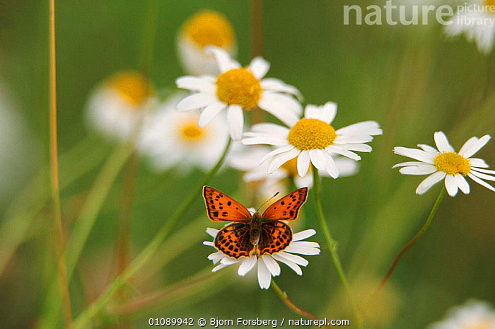 Scarce copper butterfly {Lycaena virgaureae} on Daisies {Leucanthemum vulgare} Sweden, ARTY SHOTS,BFO,EUROPE,FLOWERS,FORSBERG,HEODES,HORIZONTAL,INSECTS,LEPIDOPTERA,PLANTS,SCANDINAVIA,SUMMER,SWEDEN,VIRGAUREAE,INVERTEBRATES, Bjorn Forsberg