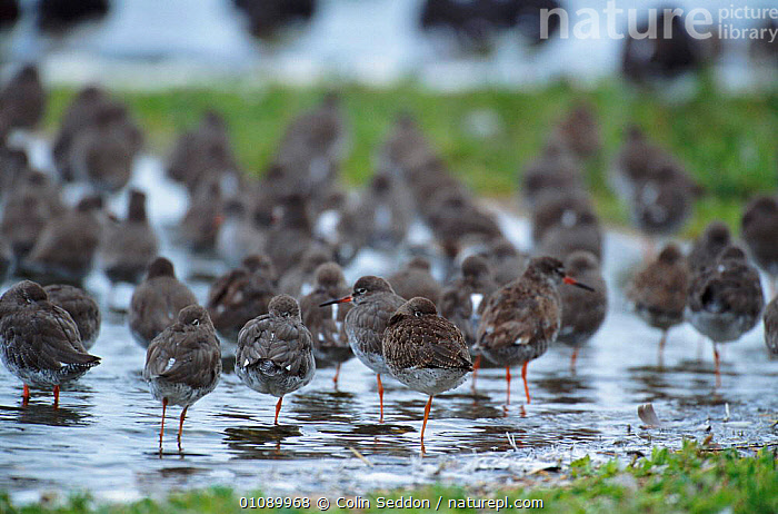 Redshank flock {Tringa totanus} Suffolk, UK, BIRDS,COASTS,CS,ENGLAND,EUROPE,FLOCK,FLOCKS,GROUPS,HORIZONTAL,RESTING,ROOSTING,SUFFOLK,UK,WADERS,WATER,WETLANDS,UNITED KINGDOM,BRITISH, Colin Seddon