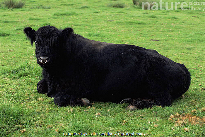 Domestic Galloway bull resting {Bos taurus} Scotland, UK, ARTIODACTYLA,BOVIDS,CATTLE,EUROPE,HORIZONTAL,LIVESTOCK,MALES,MAMMALS,SCOTLAND,UK,VERTEBRATES,United Kingdom,British, Colin Seddon