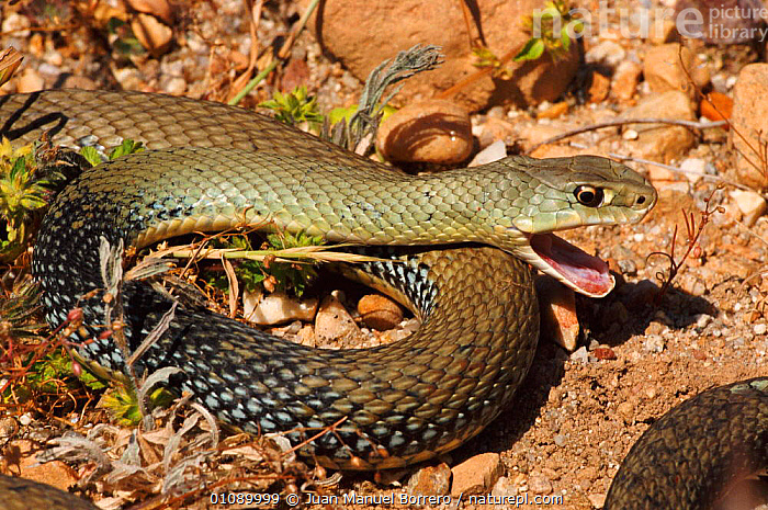 Montpellier snake {Malpolon monspessulanus}  Spain, EUROPE,FANGS,HORIZONTAL,JMB,MOUTHS,REPTILES,SPAIN,SNAKES, Juan Manuel Borrero