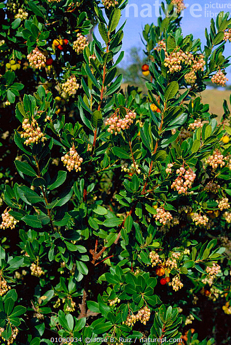 Strawberry tree with flowers and fruit {Arbutus unedo} Spain, EUROPE,FLOWERS,FRUIT,JRU,LEAVES,PLANTS,RUIZ,SPAIN,TREES,VERTICAL, Jose B. Ruiz