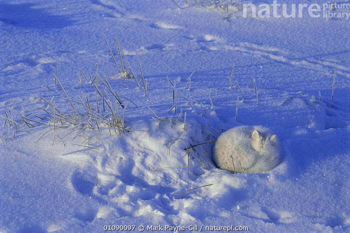 Arctic fox asleep in snow burrow {Vulpes lagopus}, CAMOUFLAGE,CANIDS,CARNIVORES,DOGS,HORIZONTAL,MAMMALS,MPG,SLEEPING,SNOW,WHITE, Mark Payne-Gill