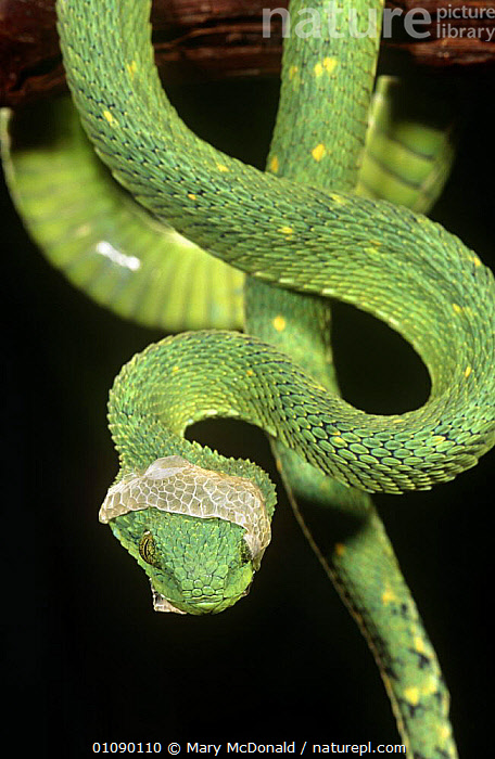 Green bush viper moulting {Atheris chloroechis} captive, occurs West Africa, AFRICA,GREEN,REPTILES,SKIN,SNAKES,VERTEBRATES,VERTICAL,VIPERS,WEST AFRICA, Vipers, Mary McDonald