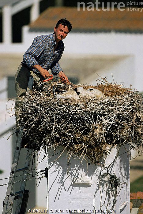 Researcher tagging White stork chicks at nest {Ciconia ciconia} Spain, BIRDS,CHICKS,CONSERVATION,EUROPE,NESTS,PEOPLE,RESEARCH,SPAIN,VERTEBRATES,VERTICAL, John Cancalosi