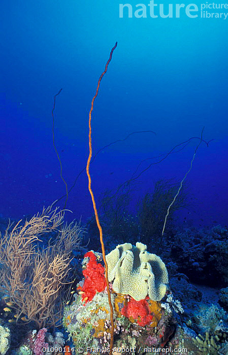 Coral reef with Sea whip {Junceella sp} + Black coral {Antipathes sp}. Indian ocean, ANTHOZOANS,ANTIPATHES,CORAL REEFS,INDIAN OCEAN,JUNCELLA,MARINE,INVERTEBRATES, CNIDARIA, Francis Abbott