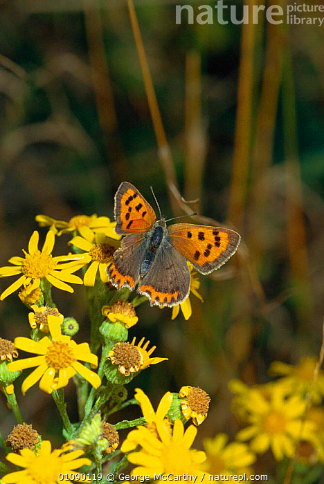 Small copper butterfly with torn wing, possibly from bird attack, {Lycaena phlaeas} Sussex, UK. On Ragwort., BRITISH,DAMAGE,DAMAGED,ENGLAND,EUROPE,FLOWERS,GMA,INSECTS,INVERTEBRATES,LEPIDOPTERA,UK,VERTICAL,WILDLIFE,WING,UNITED KINGDOM, George McCarthy
