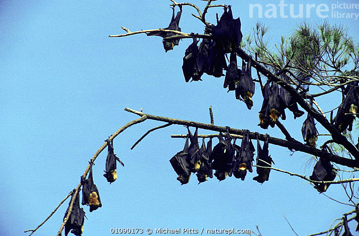 Spectacled flying foxes at daytime roost {Pteropus conspicillatus} Madang, Papua New Guinea, BATS,CHIROPTERA,FOXES,FRUIT BATS,GROUPS,MAMMALS,NOCTURNAL,PAPUA NEW GUINEA,RESTING,SLEEPING,SOUTH EAST ASIA,VERTEBRATES,Asia, Michael Pitts