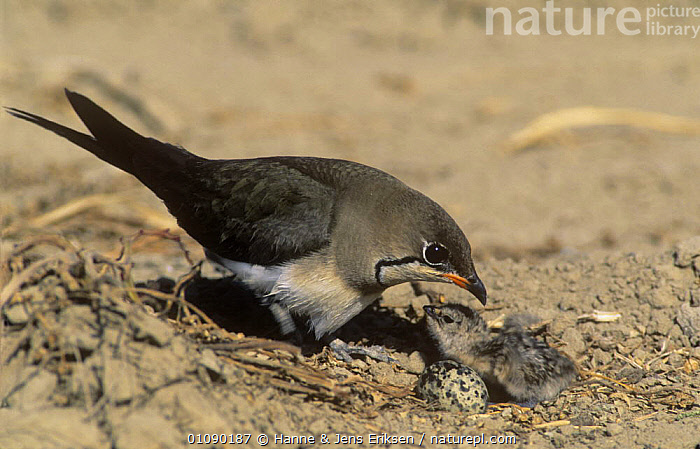 Collared pratincole {Glareola pratincola} with newly hatched chick and egg, Sohar, Oman, ARABIA,BABIES,BIRDS,EGGS,FAMILIES,MIDDLE EAST,NESTS,PRATINCOLES,VERTEBRATES,WADERS, Hanne & Jens Eriksen