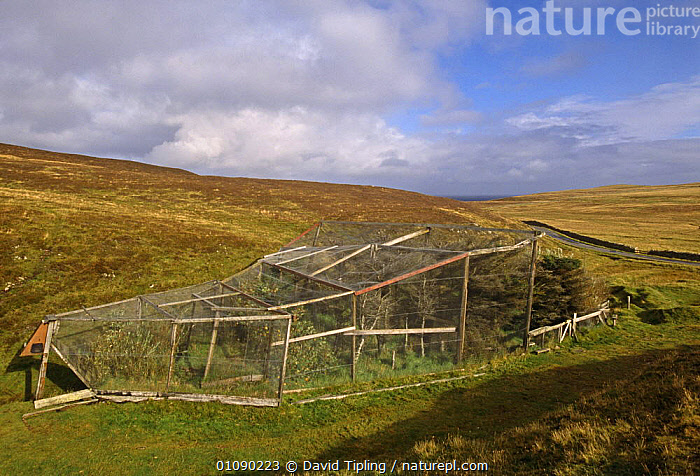 Heligoland trap over trees used to trap birds for ringing, Fair Isle, Scotland, UK, BIRDS,CONSERVATION,EUROPE,LANDSCAPES,PROJECT,RESEARCH,RINGING,SCOTLAND,TAGGING,TRAPPING,TRAPS,TREES,UK,United Kingdom,Plants,British, David Tipling