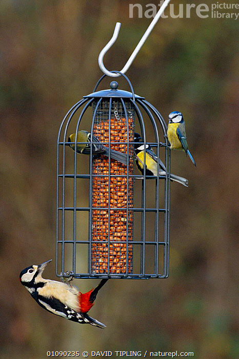 Great spotted woodpecker {Dendrocopus major} + Blue tits on squirrel proof garden feeder, UK  ,  BIRDS,BRITISH,DTI,ENGLAND,EUROPE,FEEDERS,FEEDING,GARDENS,MIXED SPECIES,NUTS,UK,VERTICAL,WILDLIFE,WINTER,UNITED KINGDOM  ,  DAVID TIPLING