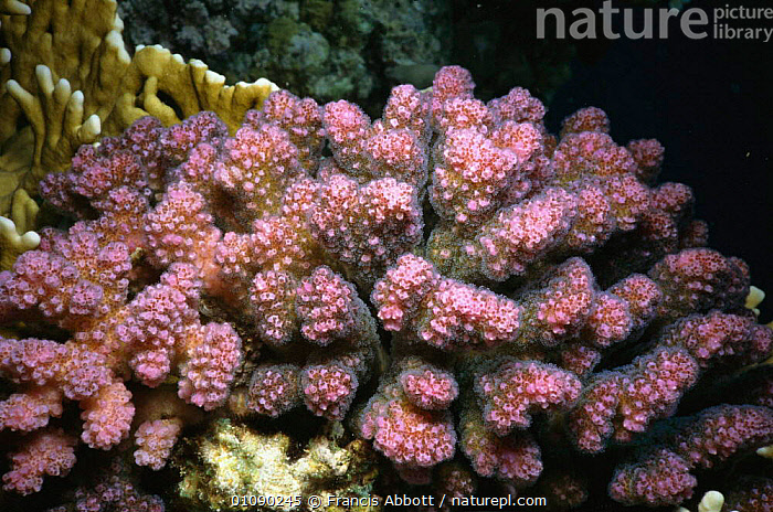 Coral {Pocillopora verrucosa} Red Sea, Middle East, CNIDARIA,ANTHOZOANS,ASCHELMINTHS,CORALS,FA,INVERTEBRATES,MARINE,MIDDLE,TROPICAL,UNDERWATER, Cnidaria, Francis Abbott