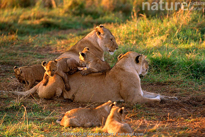 Marsh African Lion {Panthera leo} cubs playing on females,  Masai Mara NR, Kenya, AFRICA,BIG CATS,CARNIVORES,CATS,EAST AFRICA,FAMILIES,FEMALES,GROUPS,LIONESS,LIONS,MAMMALS,PLAY,RESERVE,VERTEBRATES,Communication, Angela Scott